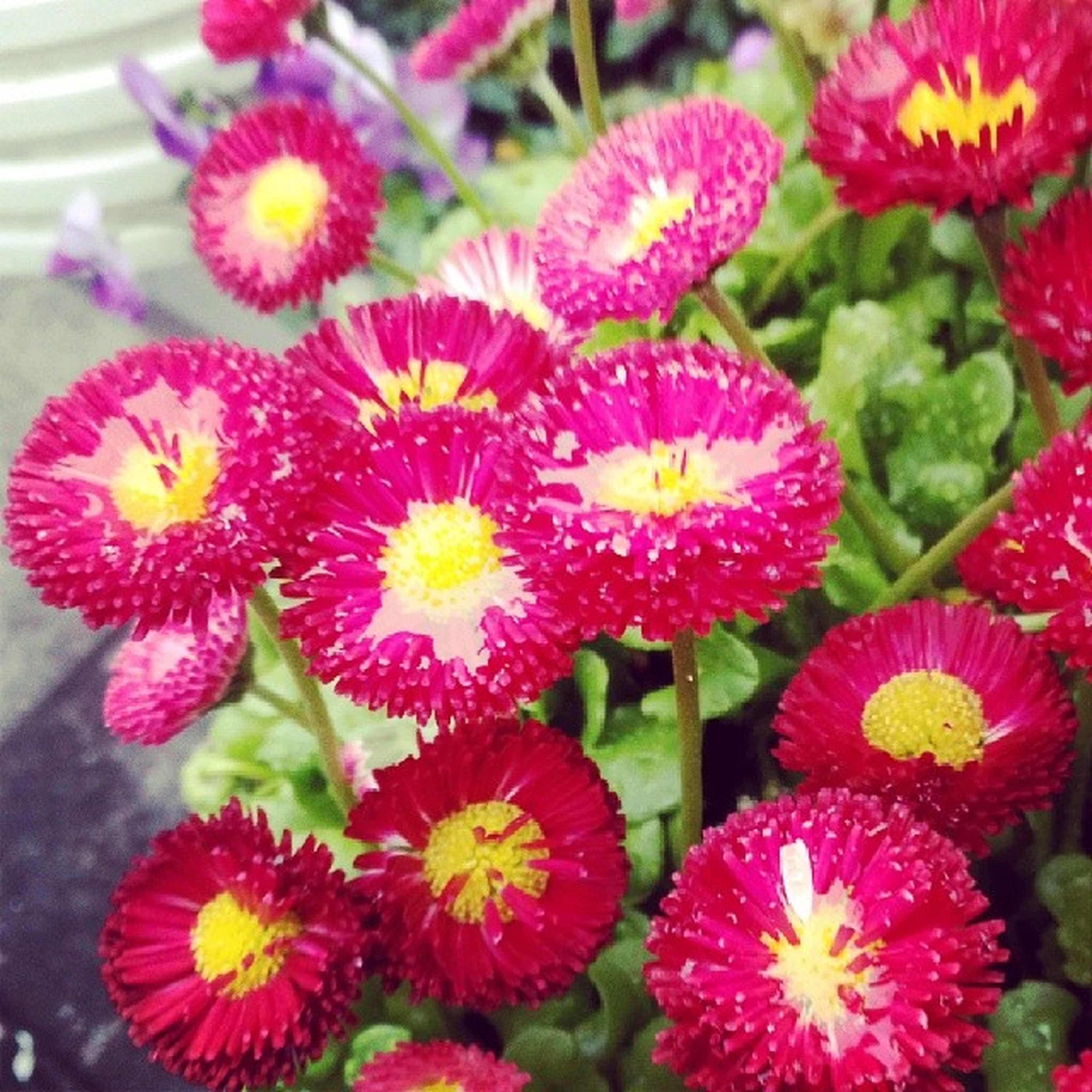flower, freshness, petal, fragility, flower head, growth, beauty in nature, blooming, plant, close-up, nature, high angle view, pink color, red, focus on foreground, in bloom, day, no people, outdoors, park - man made space