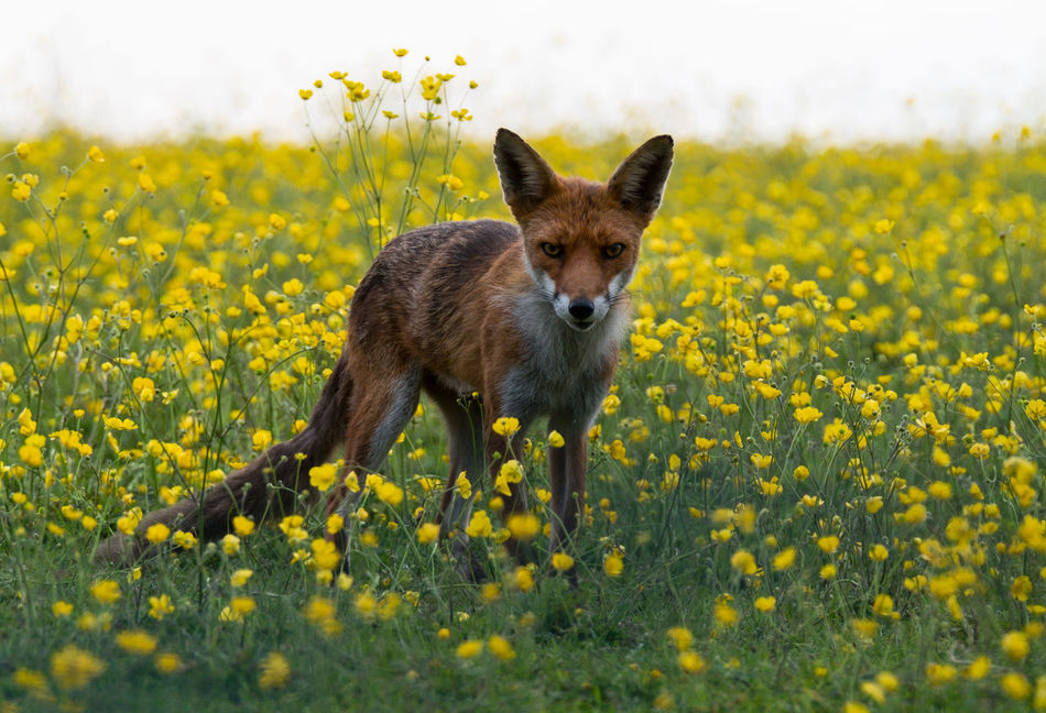 Beautiful stock photos of fox, Animal Themes, Animal Wildlife, Animals In The Wild, Beauty In Nature