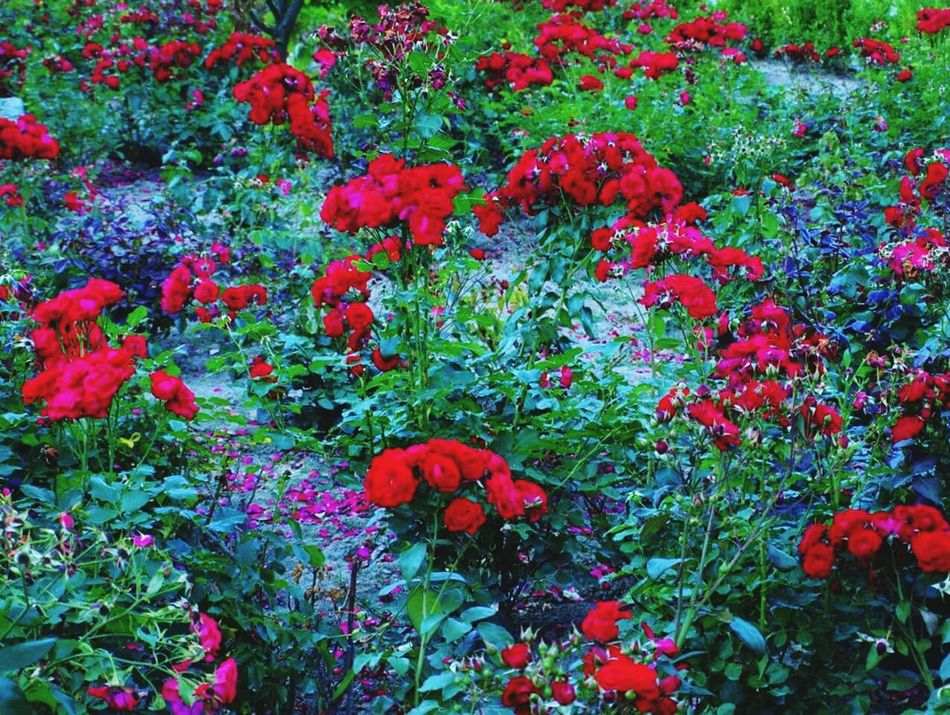 Sandomierz Ojciec Mateusz Roza Rose🌹 Red Flower