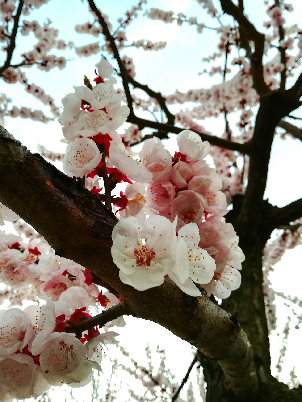 Spring surprises... Apricot Tree Nature Beauty In Nature Pink Color Flower No People Tree Flower Head Fragility Freshness Outdoors ApricotBlossom Apricot Flower Floweer