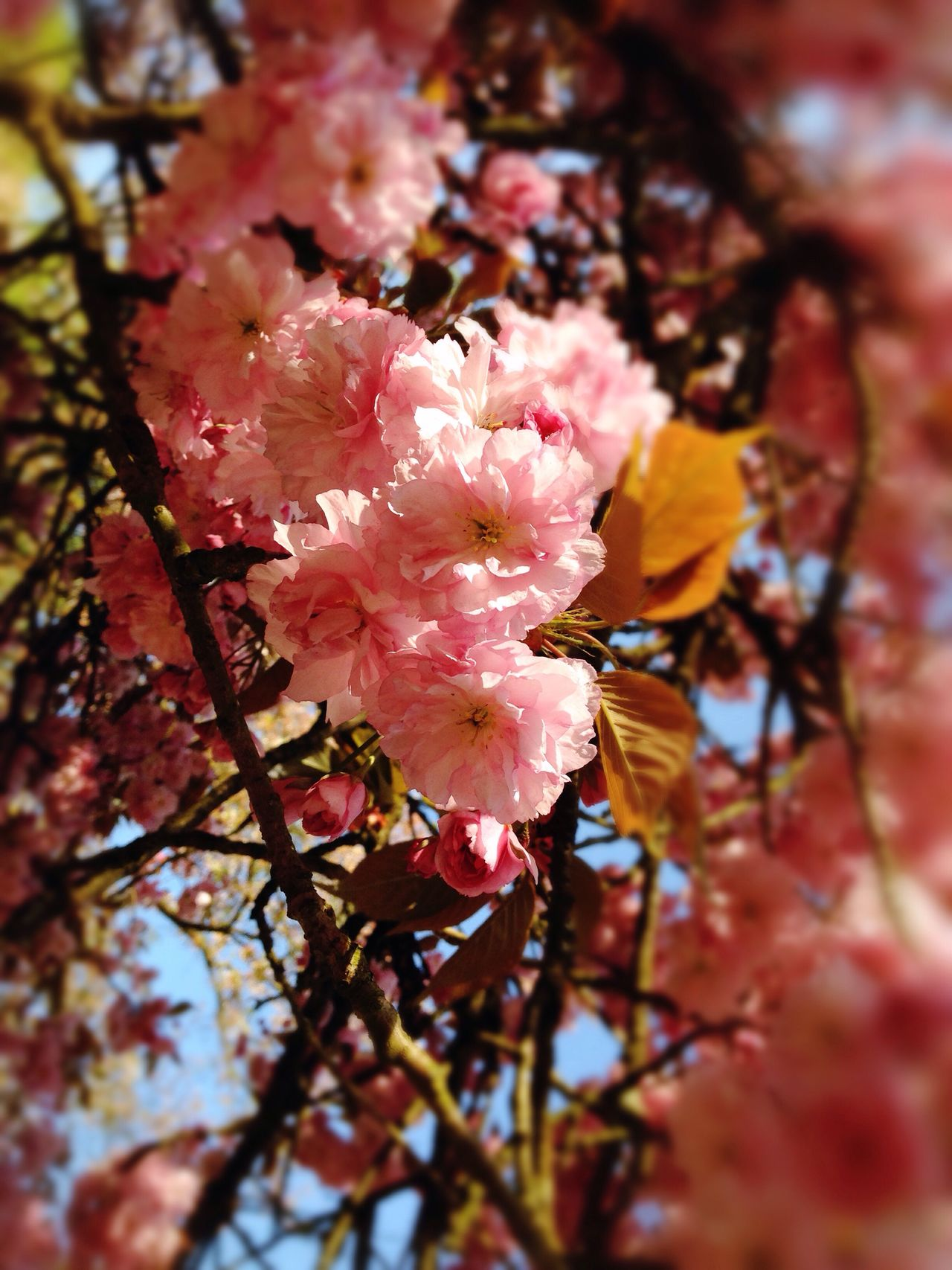 Blooming Blossom Pink Color Flower Nature Fragility Beauty In Nature Growth Springtime Outdoors Tree