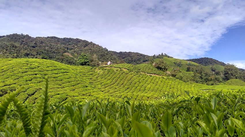 Agriculture Nature Field Mountain Beauty In Nature Rural Scene No People Outdoors Sky Freshness Tea Crop Green Color Teafarm Cameronhighlands Malaysia Truly Asia Malaysianphotographer