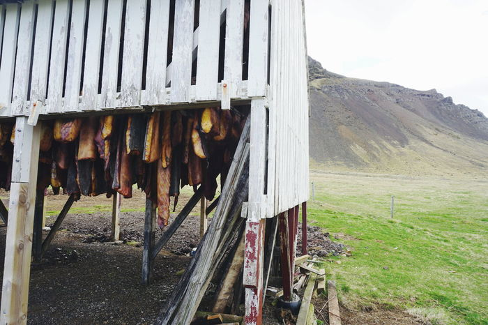 Hakarl, fermented shark ,speciality food in Iceland Animal Themes Architecture Countryside Day Domestic Animals Drying Drying Fish Ferment Fermentation Field Food Foodphotography Grass Iceland Iceland Trip Iceland_collection Mammal Nature No People Outdoors Shark Sharks Sky Hakarl The Great Outdoors - 2017 EyeEm Awards