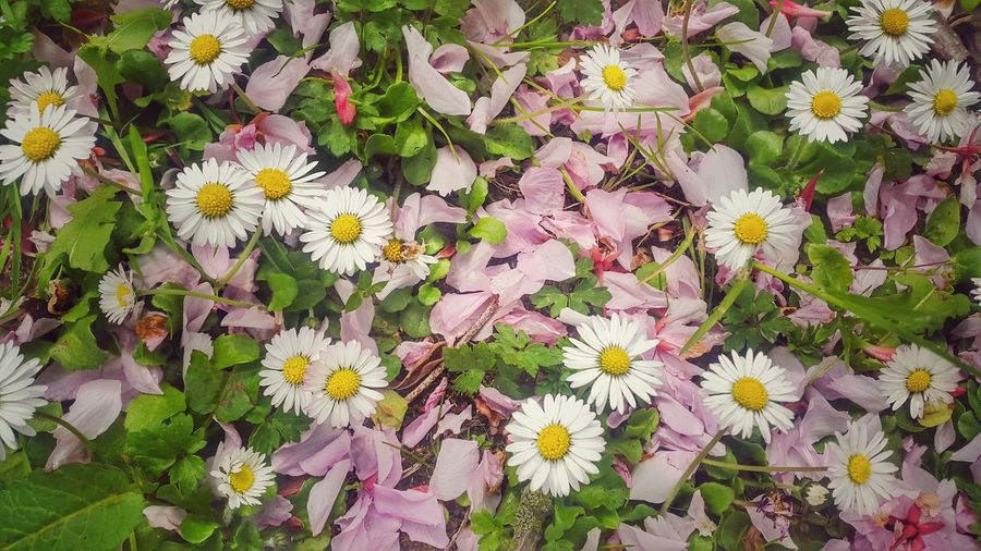 Daisies Grass Beautiful Mobilephotography Spring Has Arrived Edinburgh Flowers Sunshine Pretty Fairies