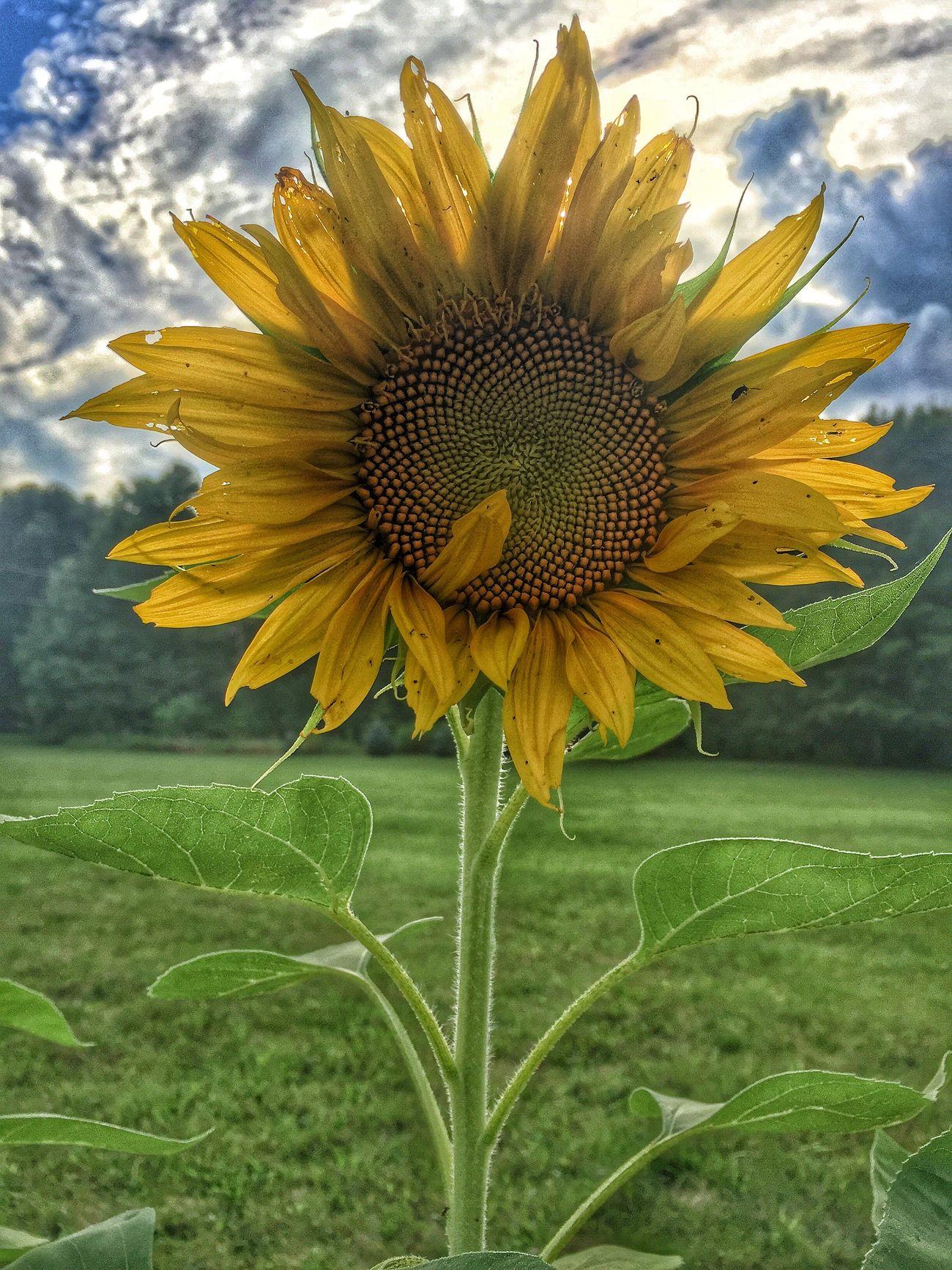 Sunny day Flower Yellow Beauty In Nature Hdr_Collection Eye Em Nature Lover EyeEm Best Shots Asseeninohio Tadaa Community