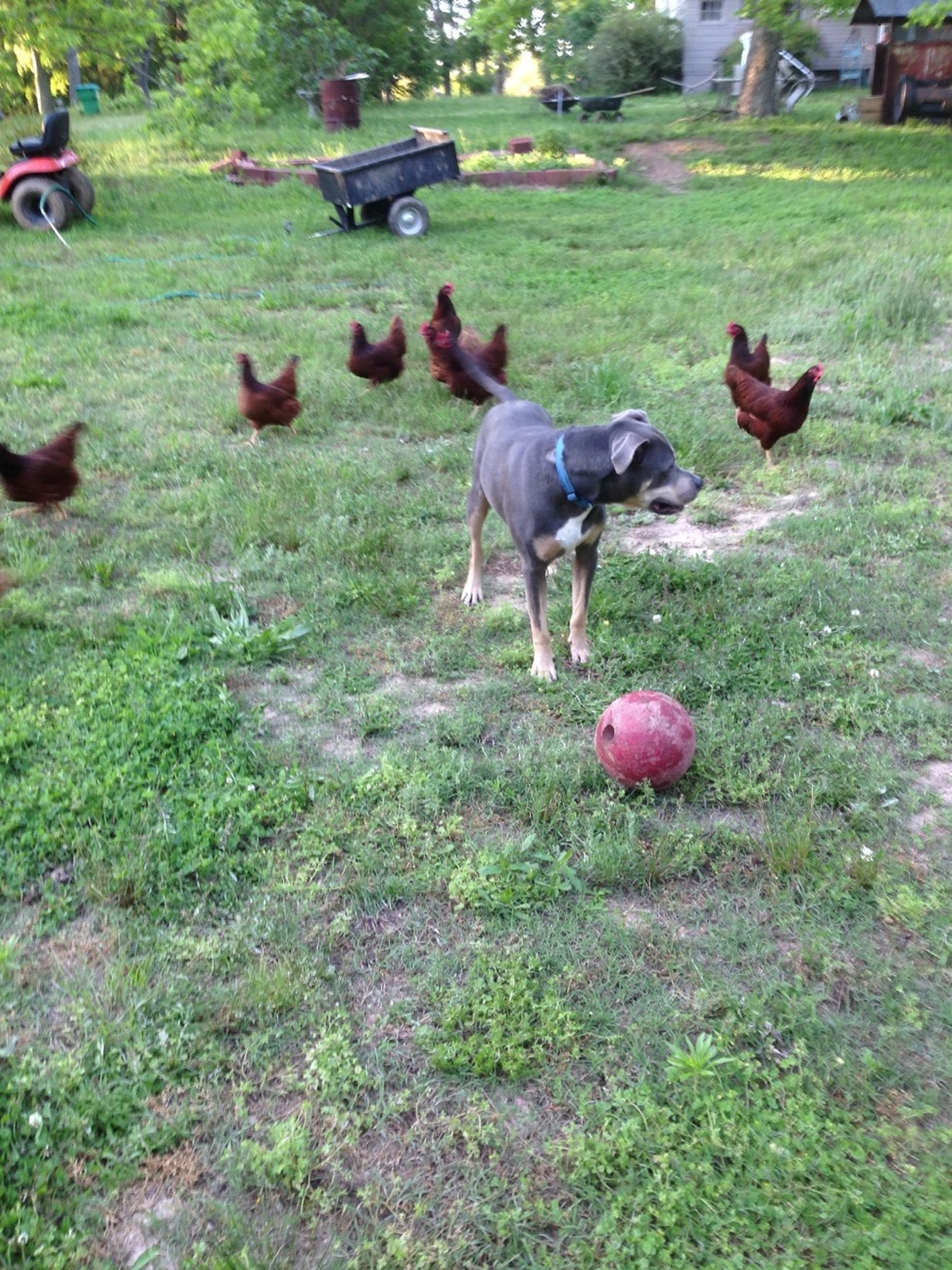 Being Chaced Down By Chickens