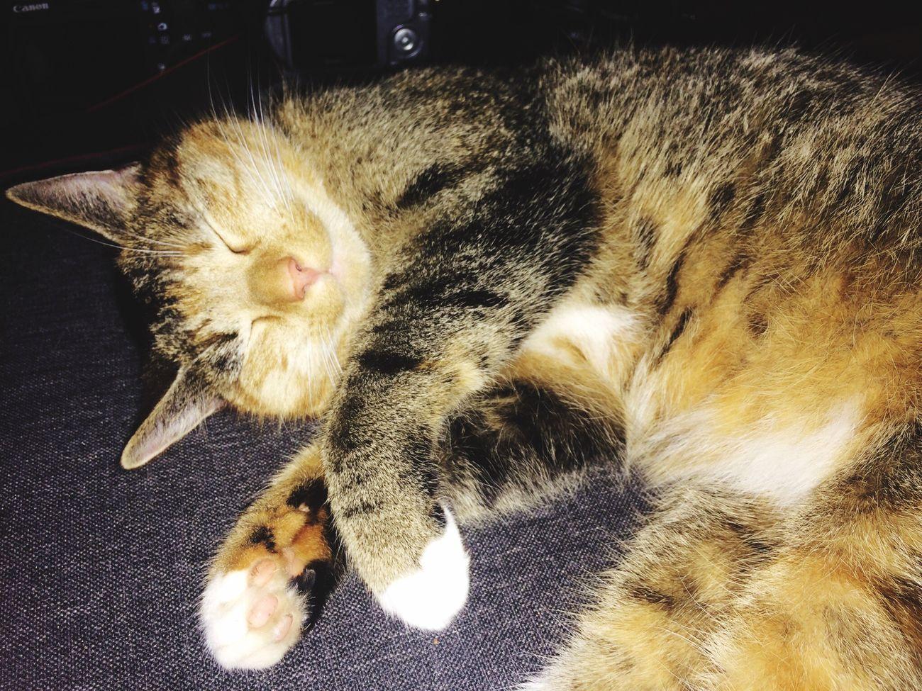 ralph van dellen eyeem one of my two sweet cats 😃 cat