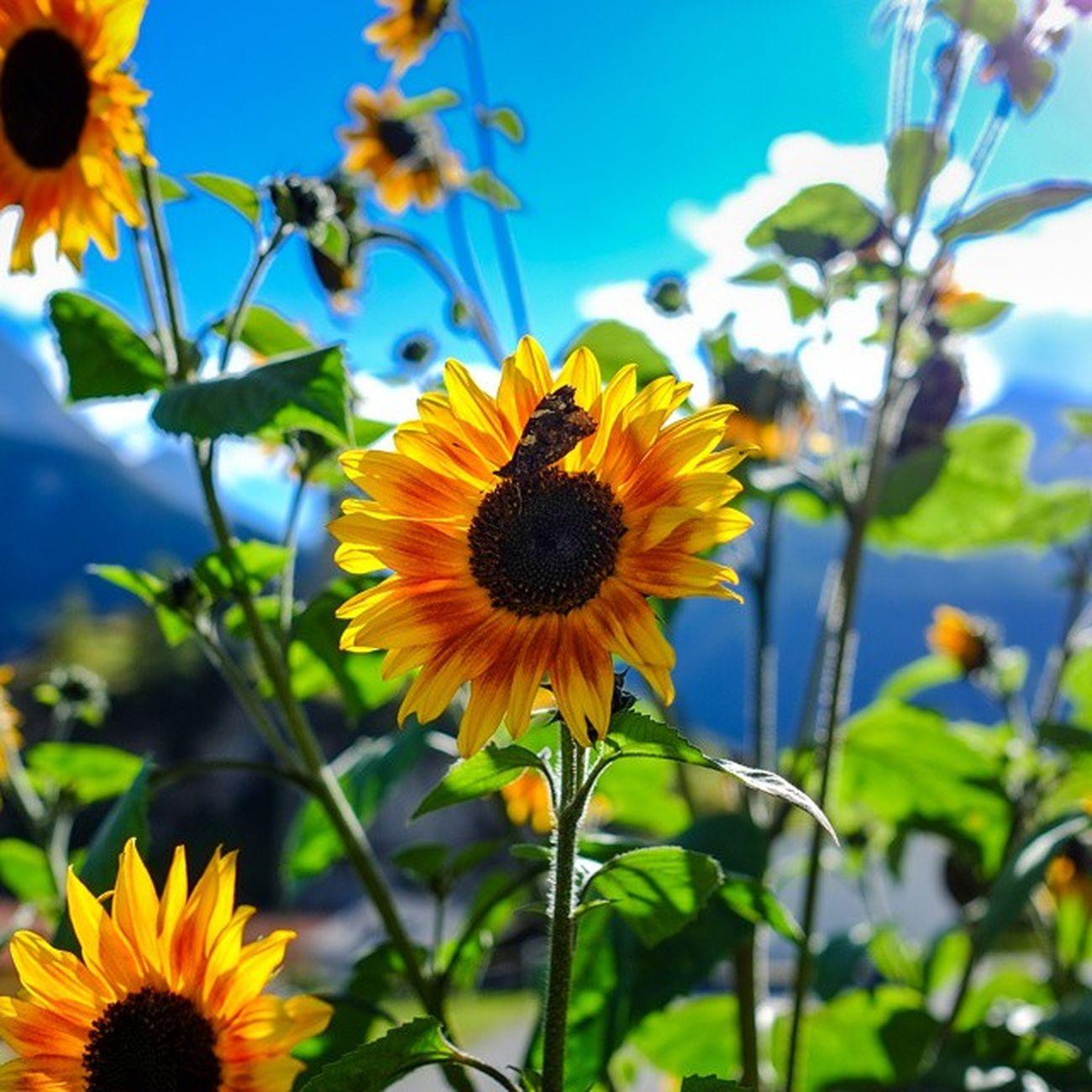 Fuji Xtrans Photo X -e1 Sunflower Bluesky Awsomeness Colors