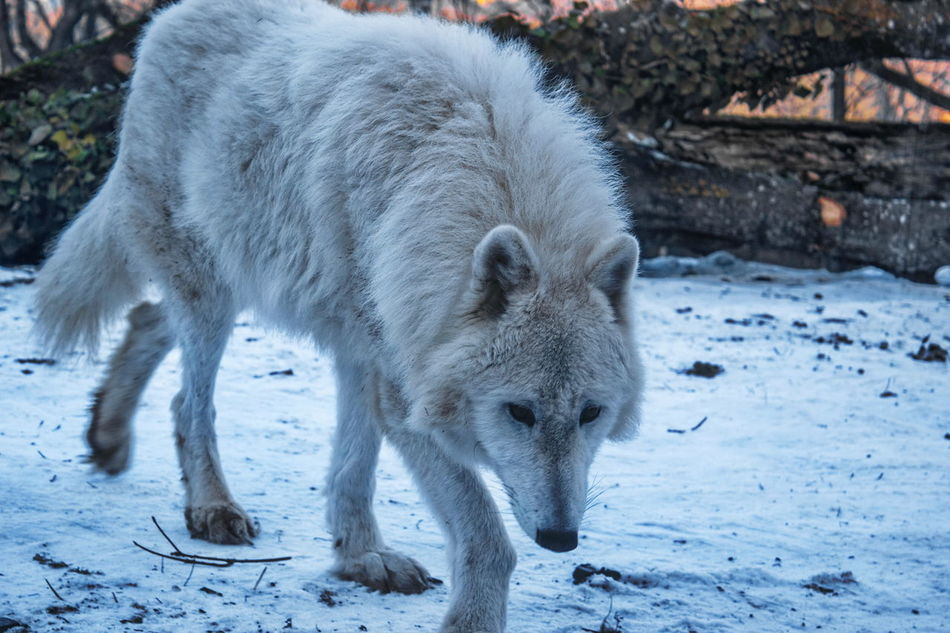 Animal Photography Animal Themes Animals In The Wild Beauty In Nature Cold Temperature Day Full Length Mammal Nature No People One Animal Outdoors Polar Wolf Snow Tree Weather Winter Wolf