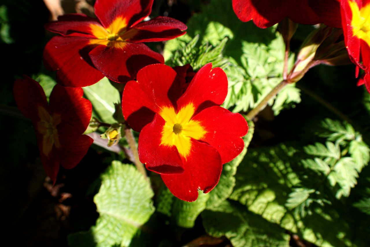 Close-Up Of Red Primulas Blooming In Sunlight