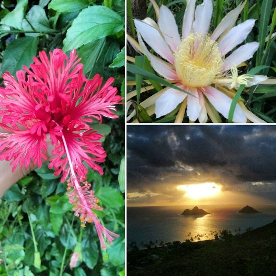 B -e-a-u-tiful Lanikai  Pillboxes Sunrise Hibiscus Skyporn Nature Luckywelivehi Flowers Nofilter Epichi Twinislands