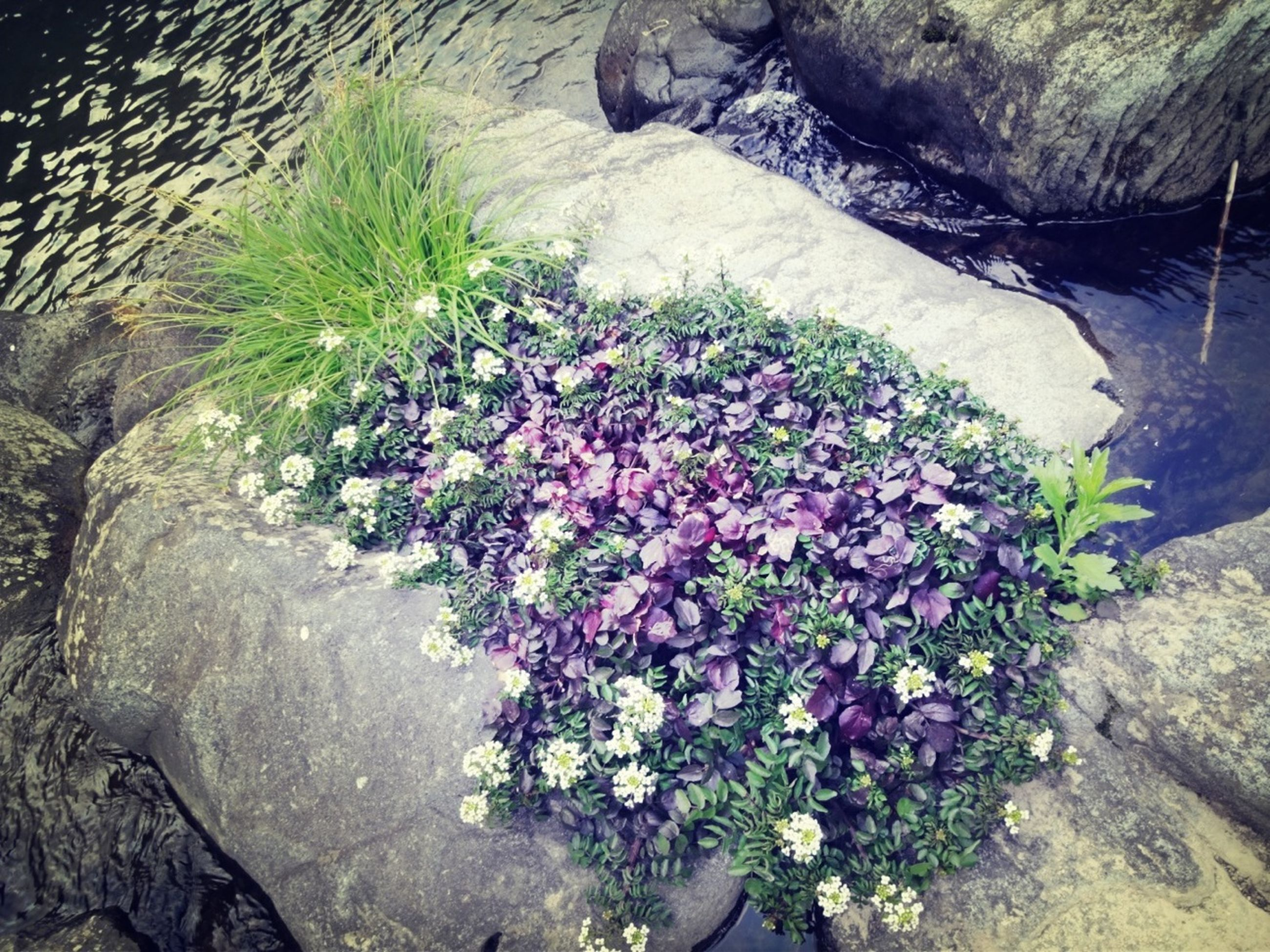flower, growth, plant, freshness, beauty in nature, nature, high angle view, rock - object, fragility, blooming, petal, tranquility, growing, day, sunlight, outdoors, in bloom, no people, tranquil scene, stone - object