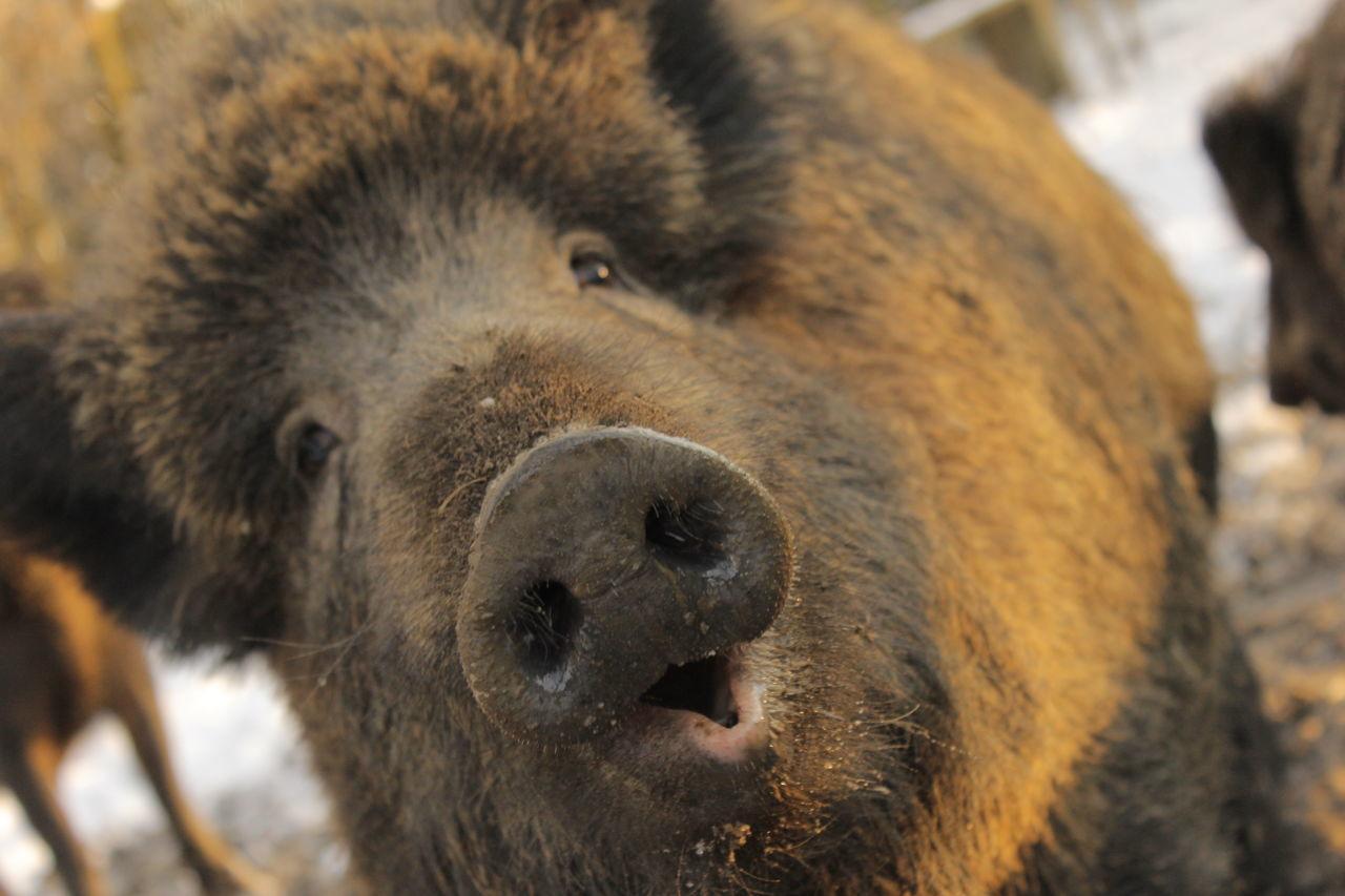 Oink Pig Boar Wildlife