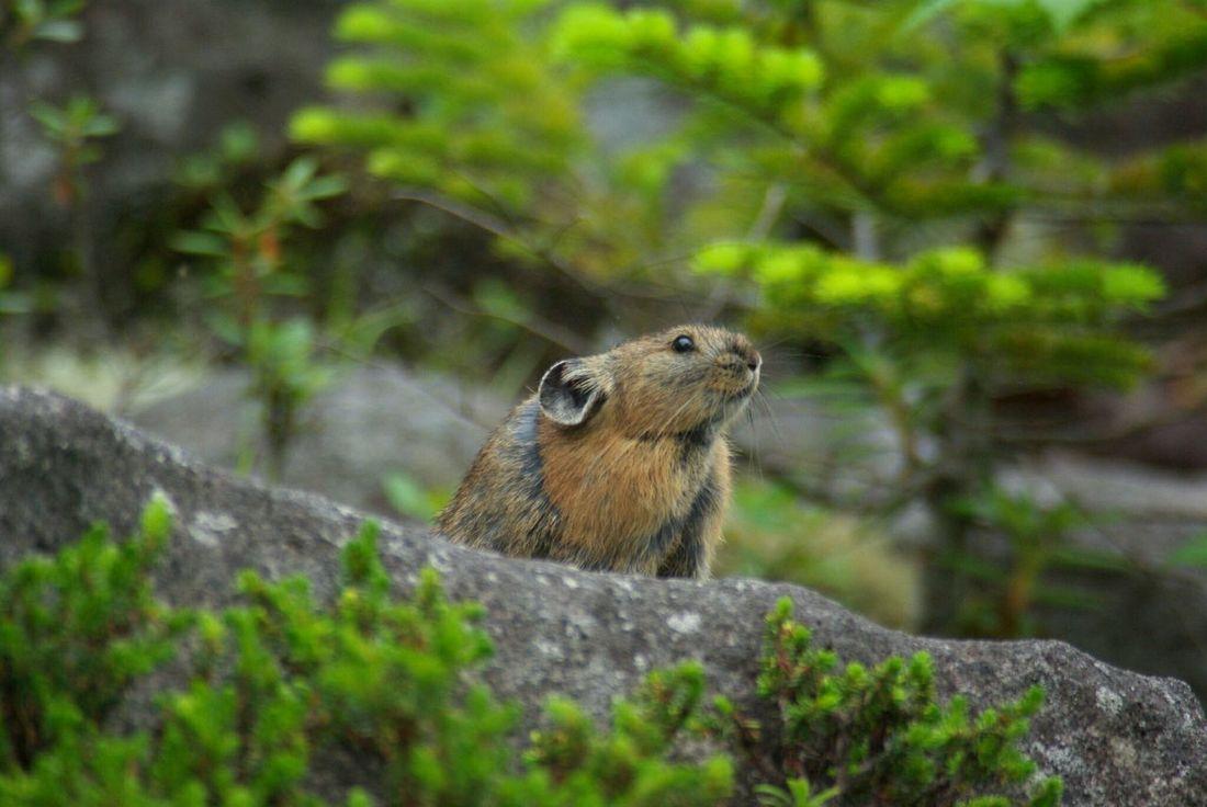 北海道、東ヌプカウシヌプリにて。ナキウサギを撮影。ネズミじゃないよ。Pika Hokkaido,Japan Animal Wildlife Nature Animal