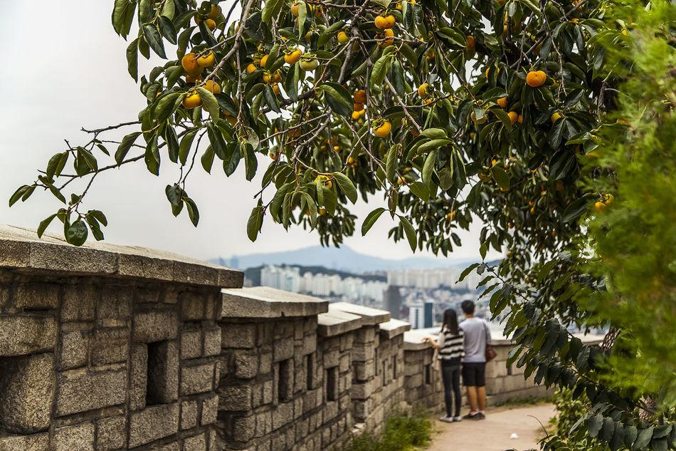Naksan Park Persimmon Hanyang Protection Wall Seoul Korea Haewhadong Stone Wall