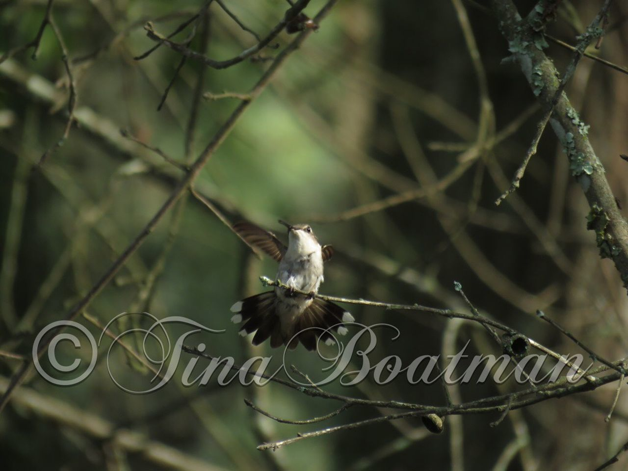 Female Rubythroatedhummingbird .. Hummingbird are so beautiful!