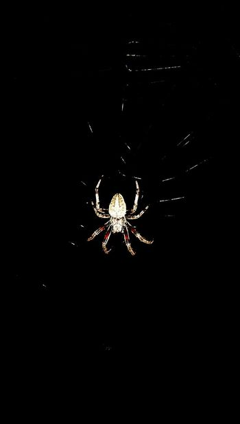 Spider Insects  Waiting Prey Hairy  Creepy Crawlers Web Nocturnal Eight Legs Hunter Lay Waiting Giant Learn & Shoot: Simplicity