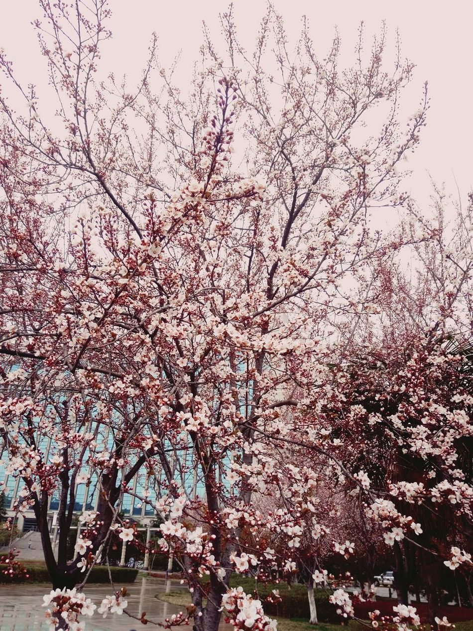 the flowers of my university.Tree Beauty In Nature Sky Nature Outdoors Large Group Of Animals Flock Of Birds Day Bird No People Water