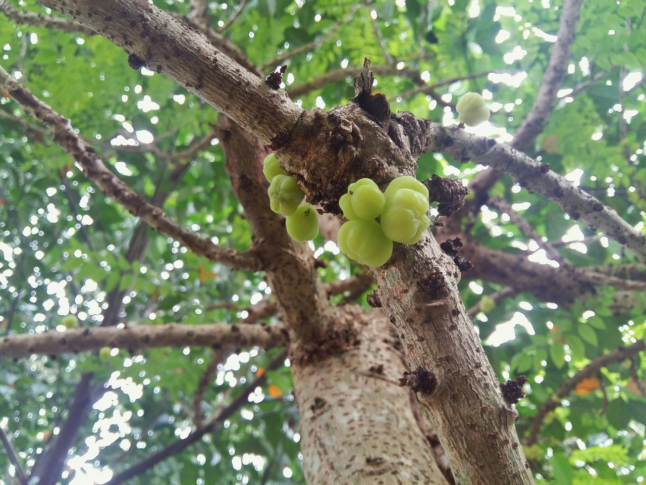 Star gooseberry. Tree Nature Branch Growth Green Color No People Fruit Beauty In Nature Star Gooseberry