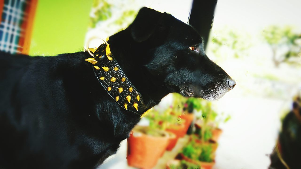 dog, pets, domestic animals, one animal, mammal, animal themes, black color, no people, pet collar, close-up, indoors, day