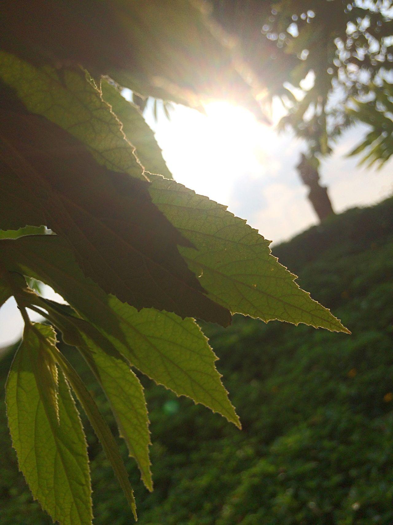 Sun Glare Green Leaf Growth Focus Object Freshness