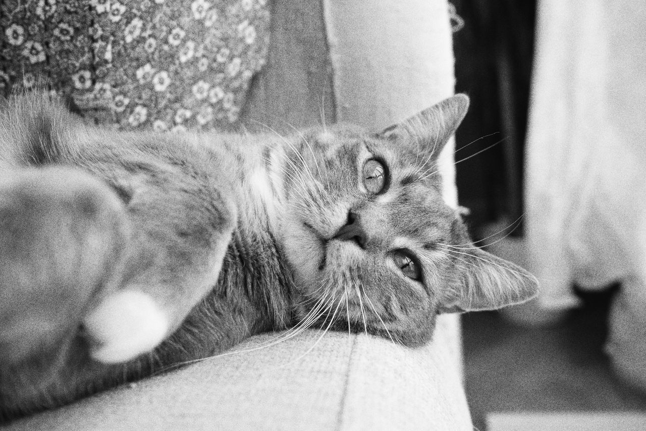 Domestic Cat Mammal Pets Feline Domestic Animals Animal Themes One Animal Whisker Indoors  Close-up Relaxation No People Day Monochrome Full Frame Lying Down Tranquil Scene Kitten Focus On Foreground Looking At Camera Cute Pets Portrait Comfortable Resting Softness