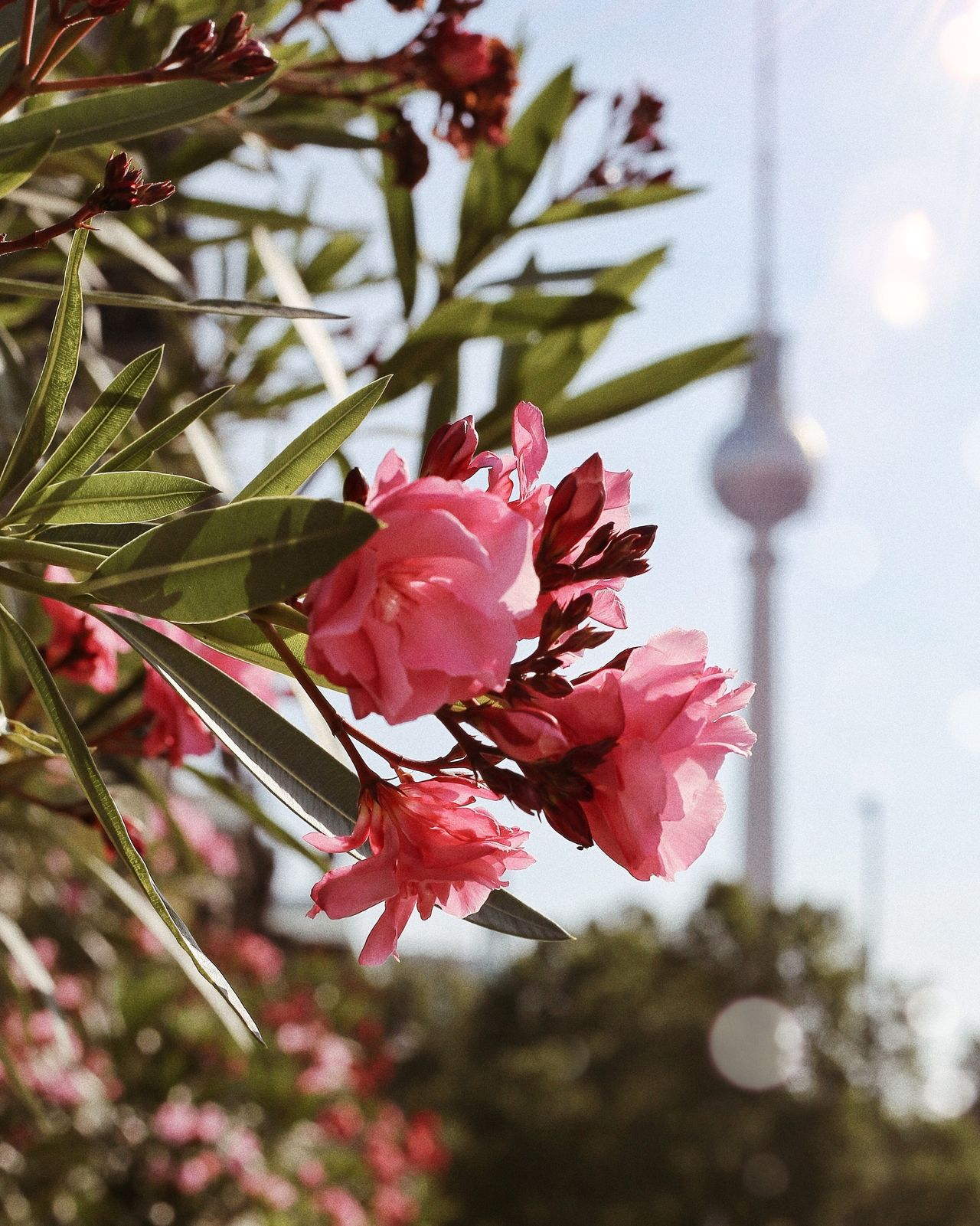 EyeEm Selects Flower Growth Petal Fragility Tree Nature Beauty In Nature Flower Head Day Blossom Freshness Branch No People Outdoors Pink Color Low Angle View Plant Close-up Blooming Sky Berlin Photography Eye4photography  Sunlight