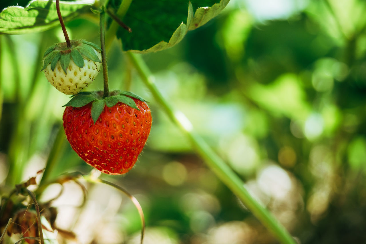 Some strawberries for the lunch Agriculture Beauty In Nature Branch Close-up Day Focus On Foreground Food Food And Drink Freshness Fruit Green Color Growing Growth Hanging Healthy Eating Leaf Nature No People Outdoors Plant Red Strawberry