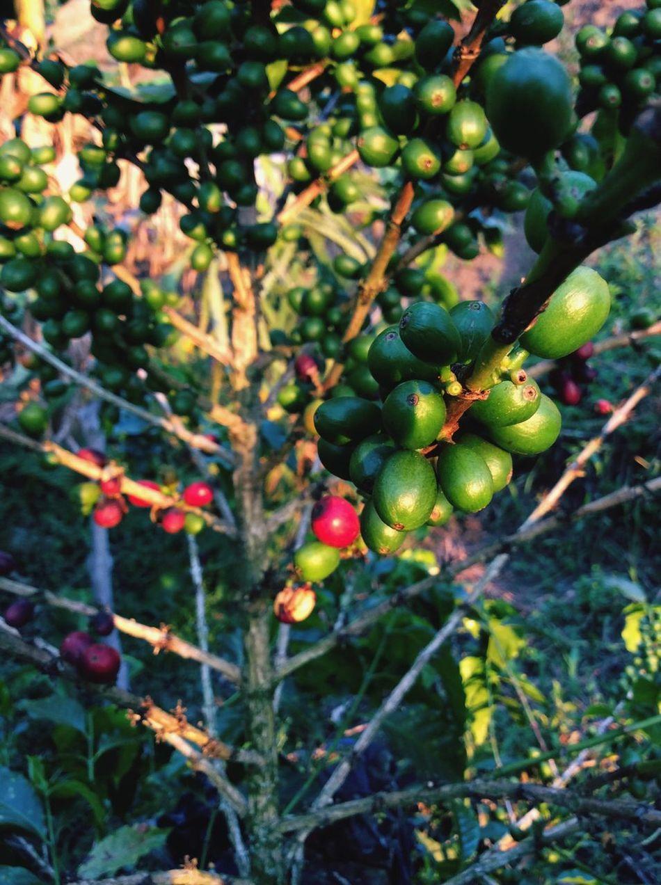 "Como dice la Madame ""la cosecha de mamá "" Colombiatierraquerida Cafe Cosecha Camp Nature Nature_perfection Nature_collection Campdays Camping"