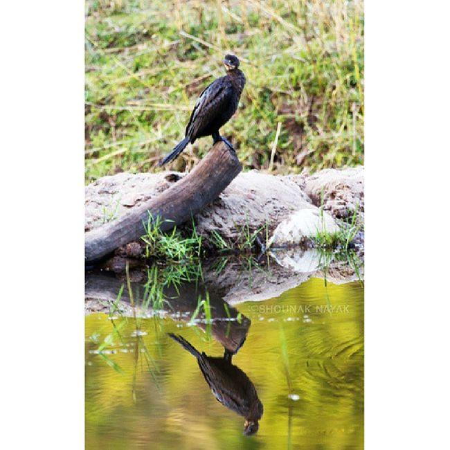 Reflection of Little Cormorent. ShounakNayakPhotography Bandhavgarh Wildlife Bird