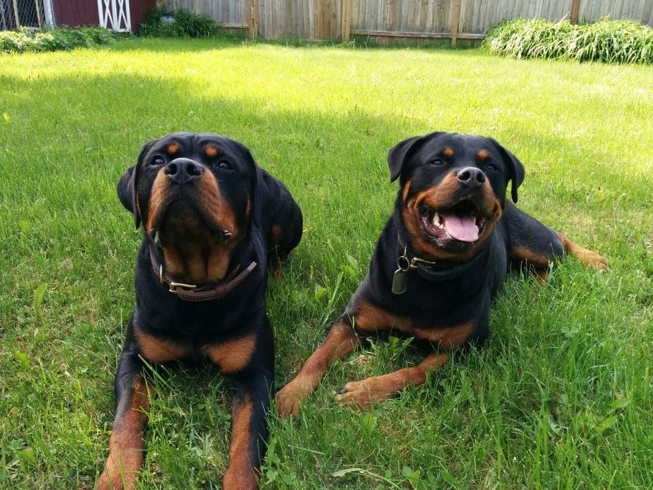 Beautiful stock photos of rottweiler, , Animal Themes, Cute, Day