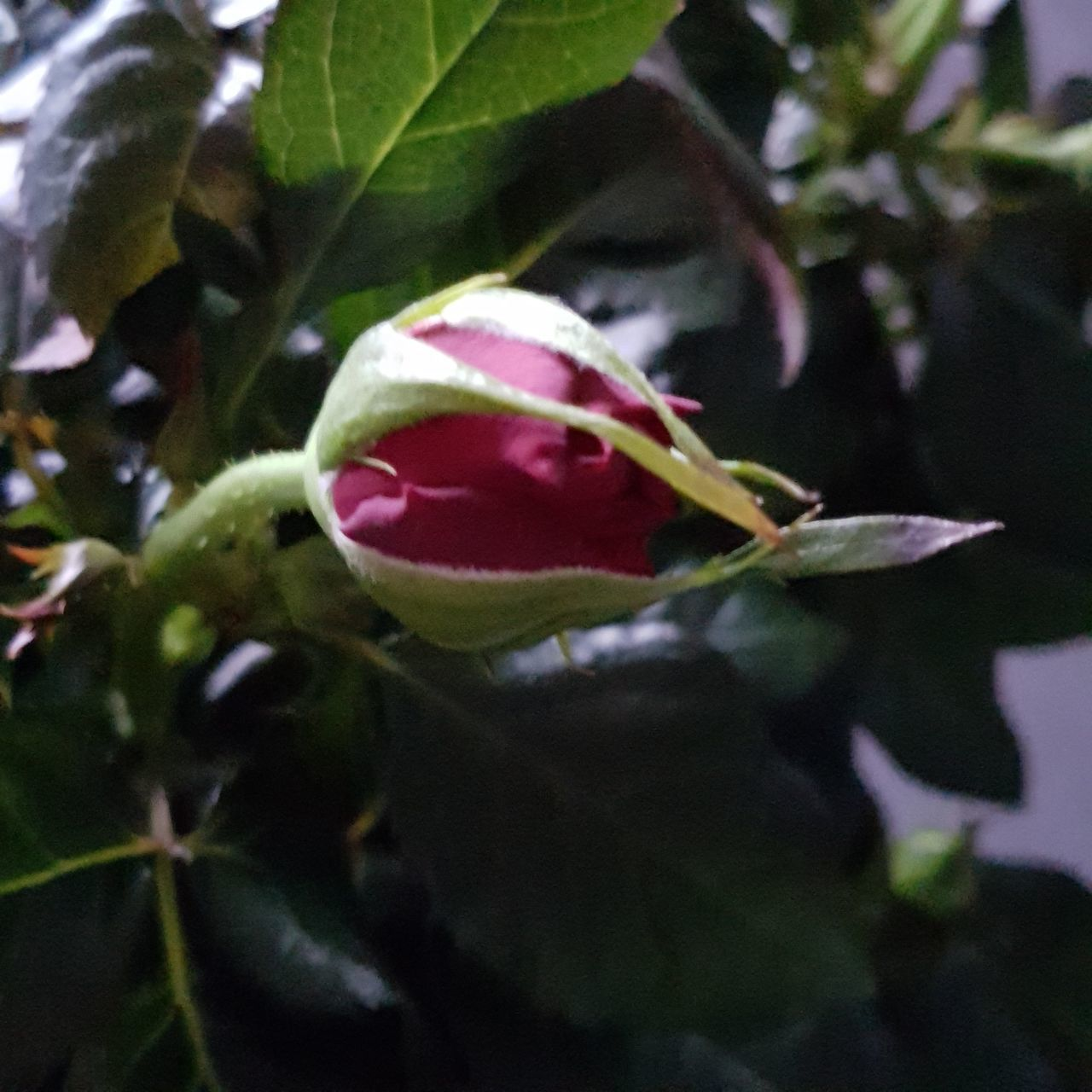 growth, flower, freshness, beauty in nature, nature, petal, fragility, plant, close-up, leaf, no people, rose - flower, outdoors, new life, day, flower head, blooming