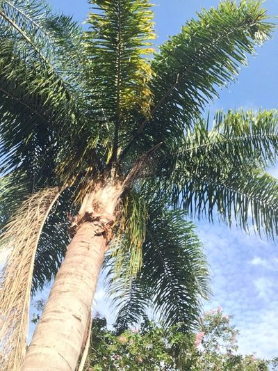 Palm Tree Outdoors Tree Low Angle View Day Growth Nature Sky Tree Trunk Beauty In Nature Florida