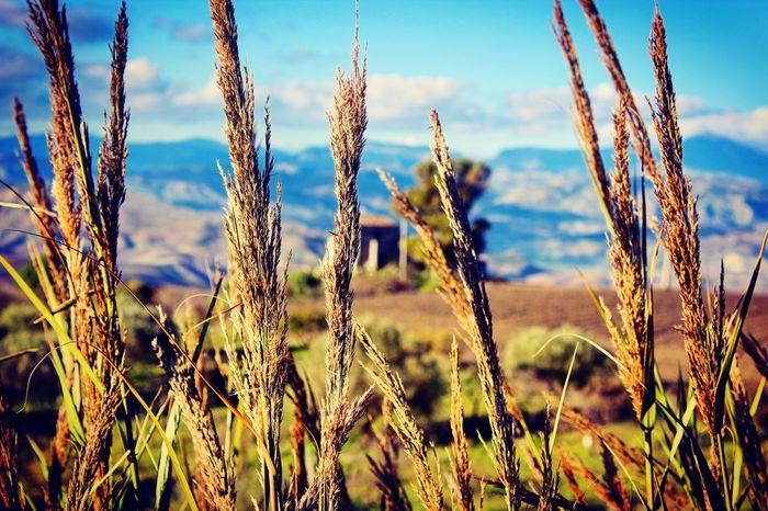 Rural Scene Plant Nature Tranquility Landscape Beauty In Nature Sky Picoftheday Siciliabedda Sicily Visitsicily  Verde Spiga Vento Nuvole Cielo Agriculture Scenics