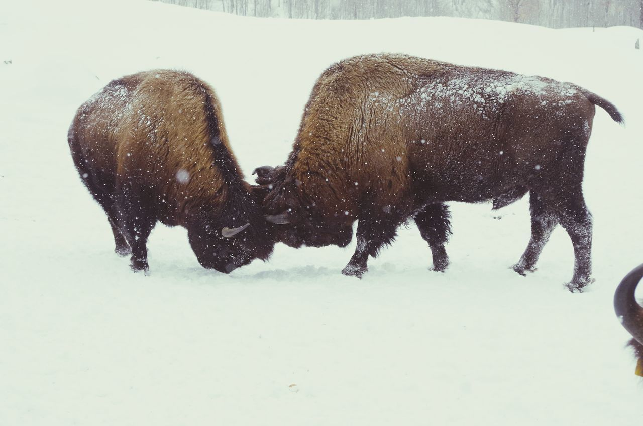 hierarchie entre bisons Winter Bison Bison Group Animals Hierarchy Relation