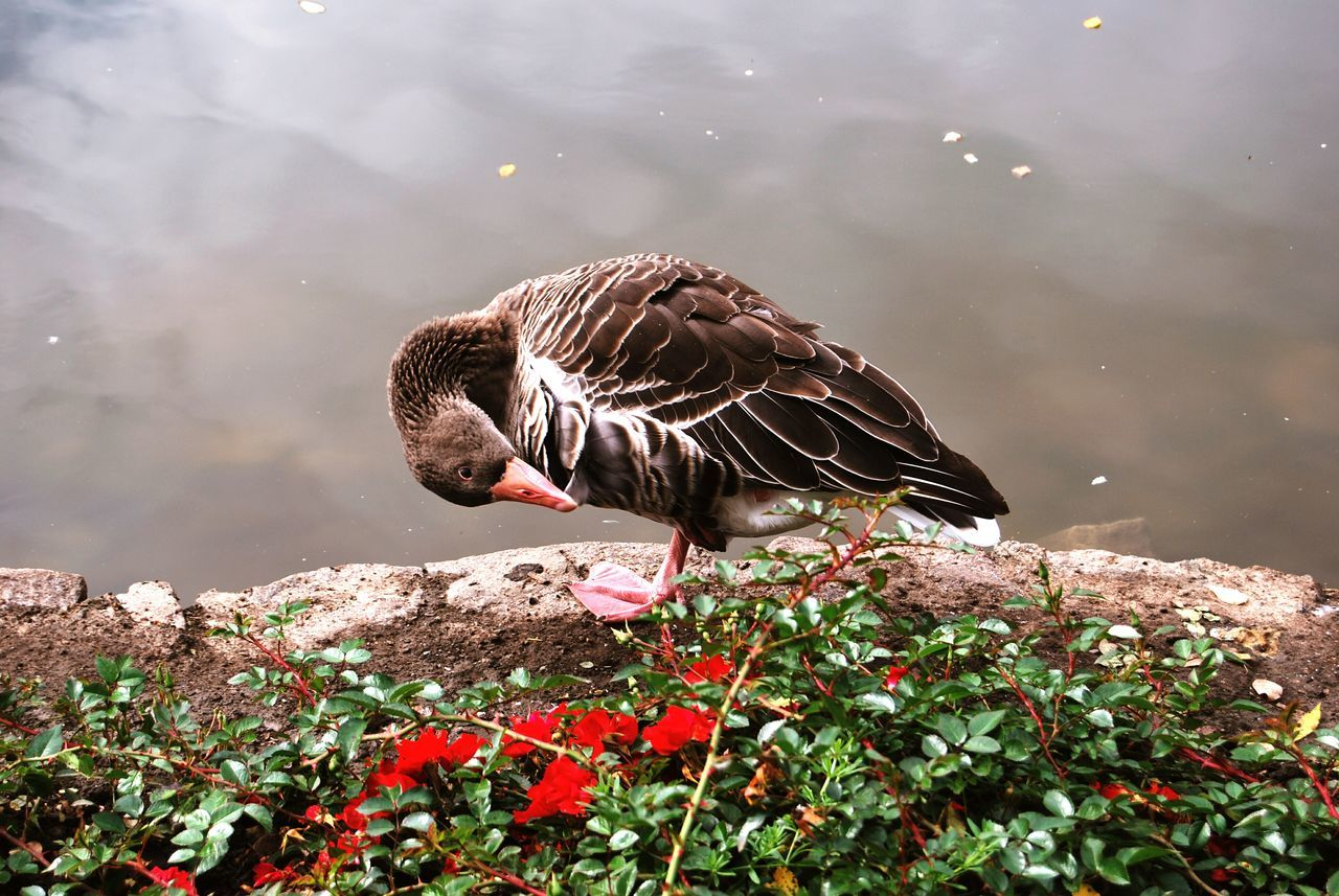 animal themes, bird, animals in the wild, one animal, animal wildlife, water, nature, day, lake, duck, no people, outdoors, perching, beauty in nature, close-up
