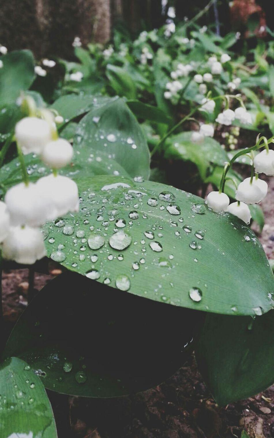 Photography Picture Beautiful Nature Muguet