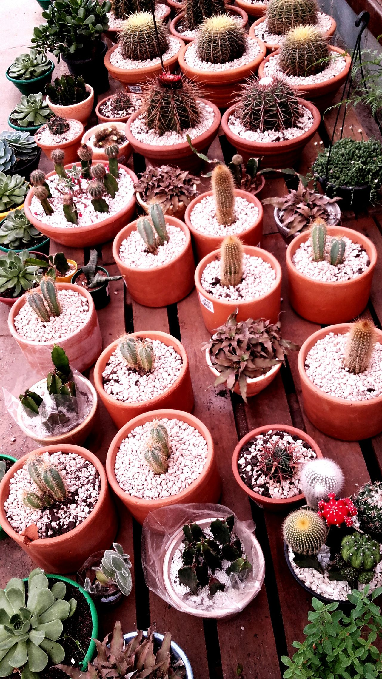 High Angle View Nature For Sale Cactusflower Green Plant Outside Plants Groups Of Objects Large Group Of Objects Choice No People Outdoors Freshness Market Day