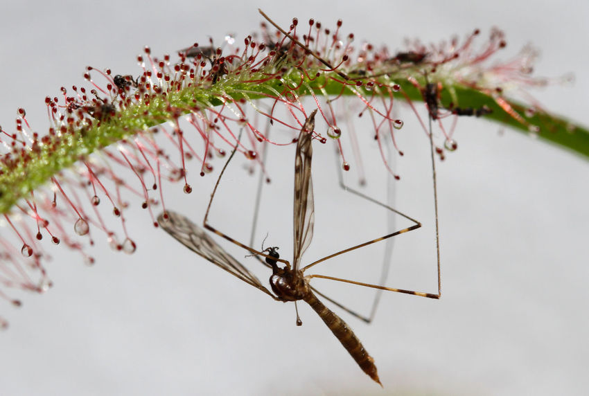 Animals In The Wild Botany Carnivorous Plant Close-up Drosera Insect Leaf Macro Mosquito Nature Plant Prey Sticky Trap Trapped Wildlife