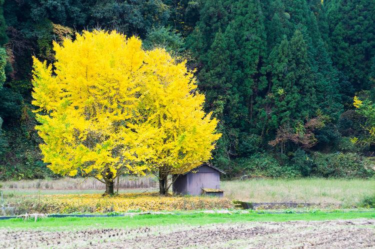大分県 いちょう 小屋 森 畑 Autumn Yellow Trees Forest