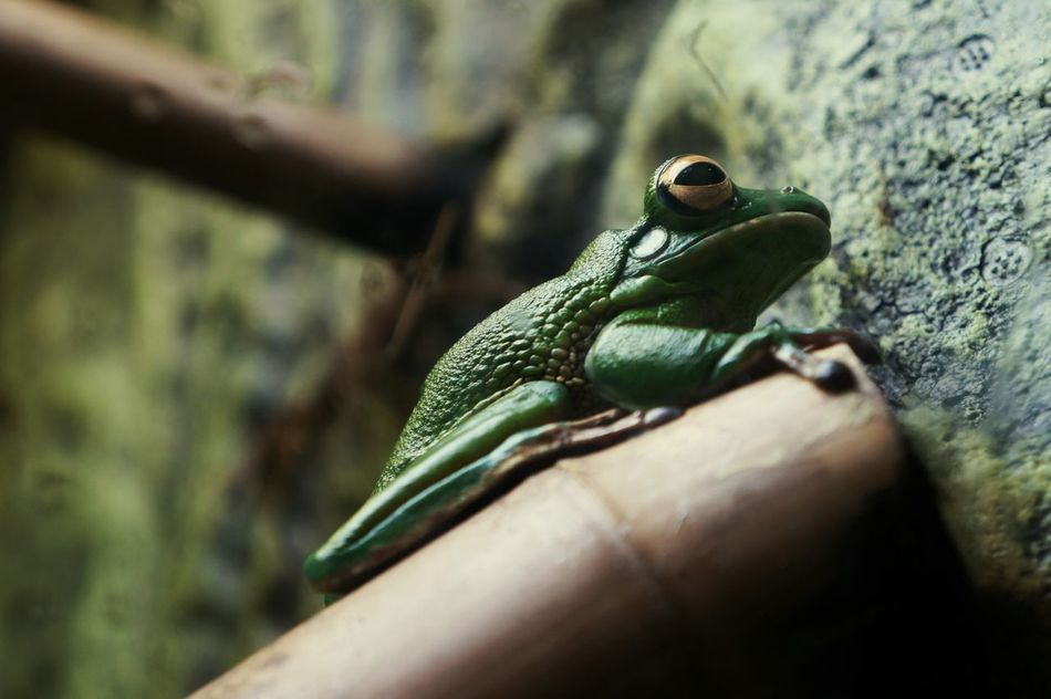One Animal Animals In The Wild Animal Themes Animal Wildlife Close-up Outdoors Nature Day Green Color Plant Eye Em Nature Lover Nature Photography EyeEmBestPics EyeEm Best Shots EyeEm Nature Lover Frog Trunck Animal Eye Check This Out