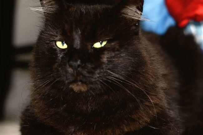 Fatty Killer Cat Evil Kitty Dr Evil My Cat Rag Doll Cat Big Fat Black Cat Big Black Cat Black Cat Black Cats Lovers Black Cats Are Beautiful