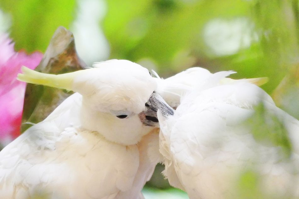 Parrots in Lover Animal Themes Animal Wildlife Animals In The Wild Beak Beauty In Nature Bird Close-up Cockatoo Day Focus On Foreground Fragility Nature No People Outdoors Parrot Parrot Love Parrot Lovebirds Parrot Lover Parrots Parrots Feeding Parrots On A Tree White Color นก นกสวยงาม นกแก้ว
