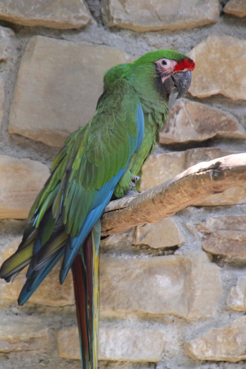 animal themes, one animal, bird, animals in the wild, animal wildlife, no people, perching, day, green color, parrot, outdoors, nature, close-up