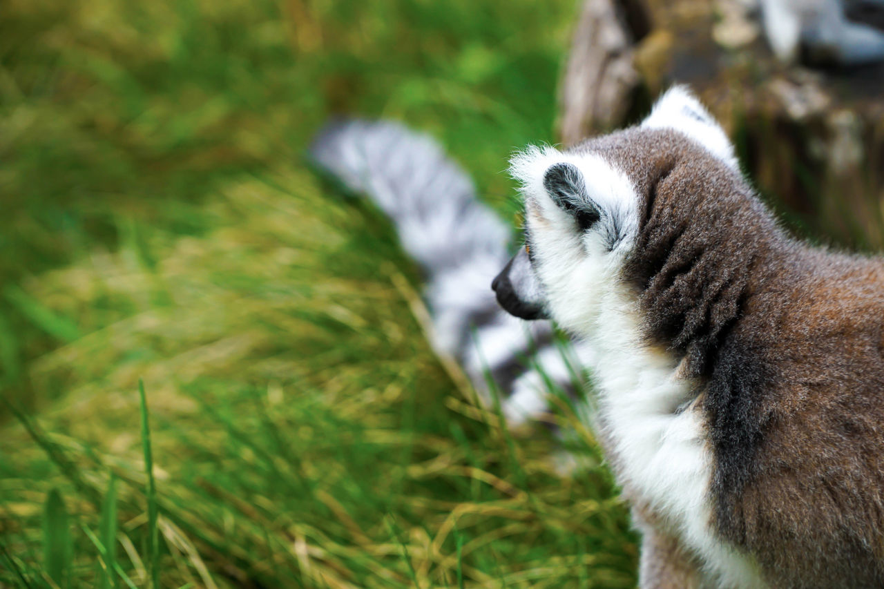 one animal, animal themes, animals in the wild, animal wildlife, mammal, nature, grass, focus on foreground, day, field, outdoors, no people, lemur, tiger, close-up