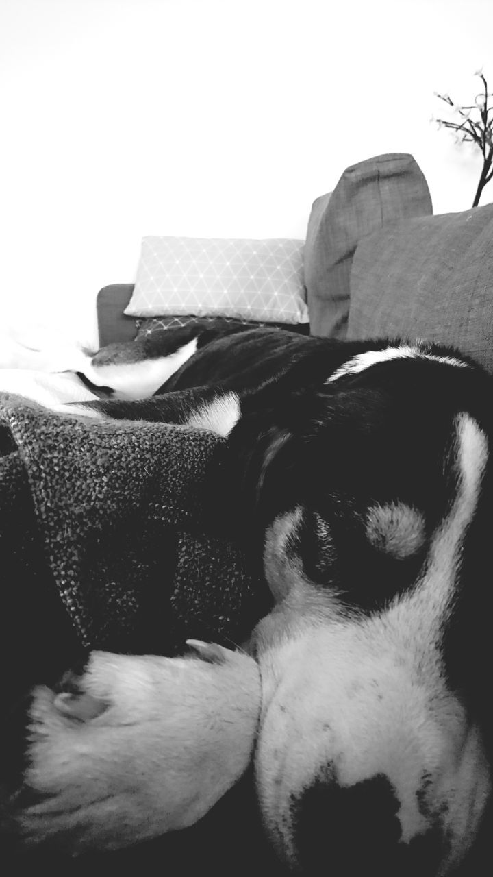 pets, domestic animals, dog, mammal, one animal, animal themes, sofa, relaxation, sleeping, indoors, home interior, no people, close-up, day
