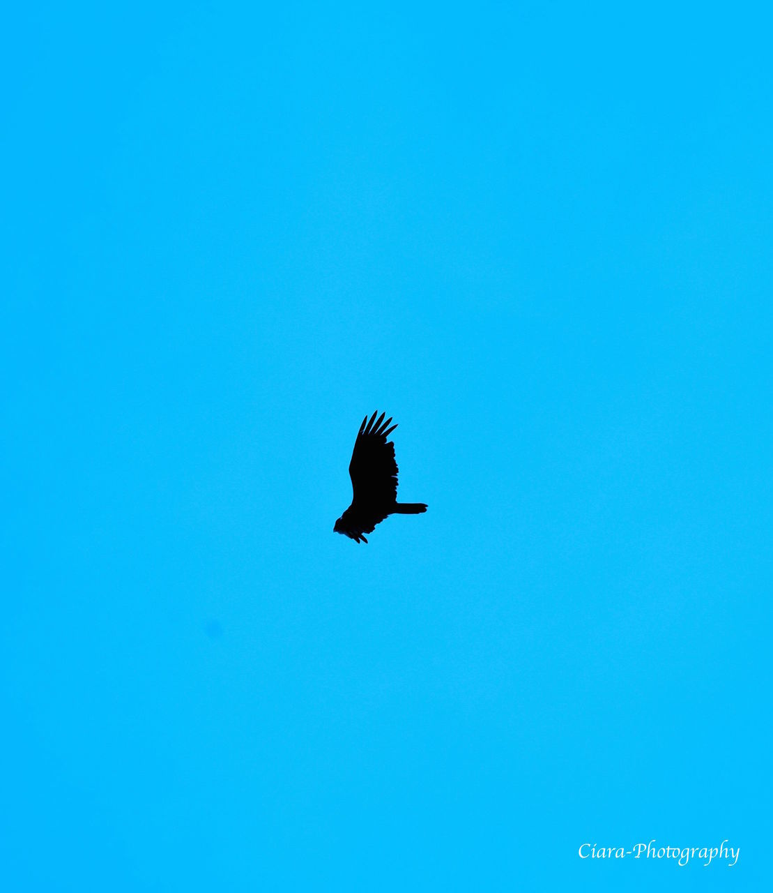 flying, bird, copy space, animals in the wild, clear sky, low angle view, one animal, blue, spread wings, animal themes, animal wildlife, mid-air, outdoors, nature, no people, day, bird of prey