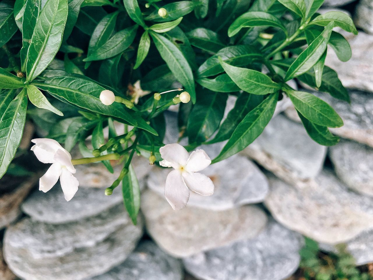 Leaf Growth Plant Green Color Nature No People Day Outdoors Close-up Freshness Petal Fragility Beauty In Nature Flower Flower Head Periwinkle Eyeem Philippines