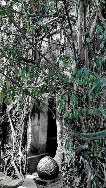 Bodhitree Overgrown on Bhuddisttemple Samutsongkram Adayinthailand