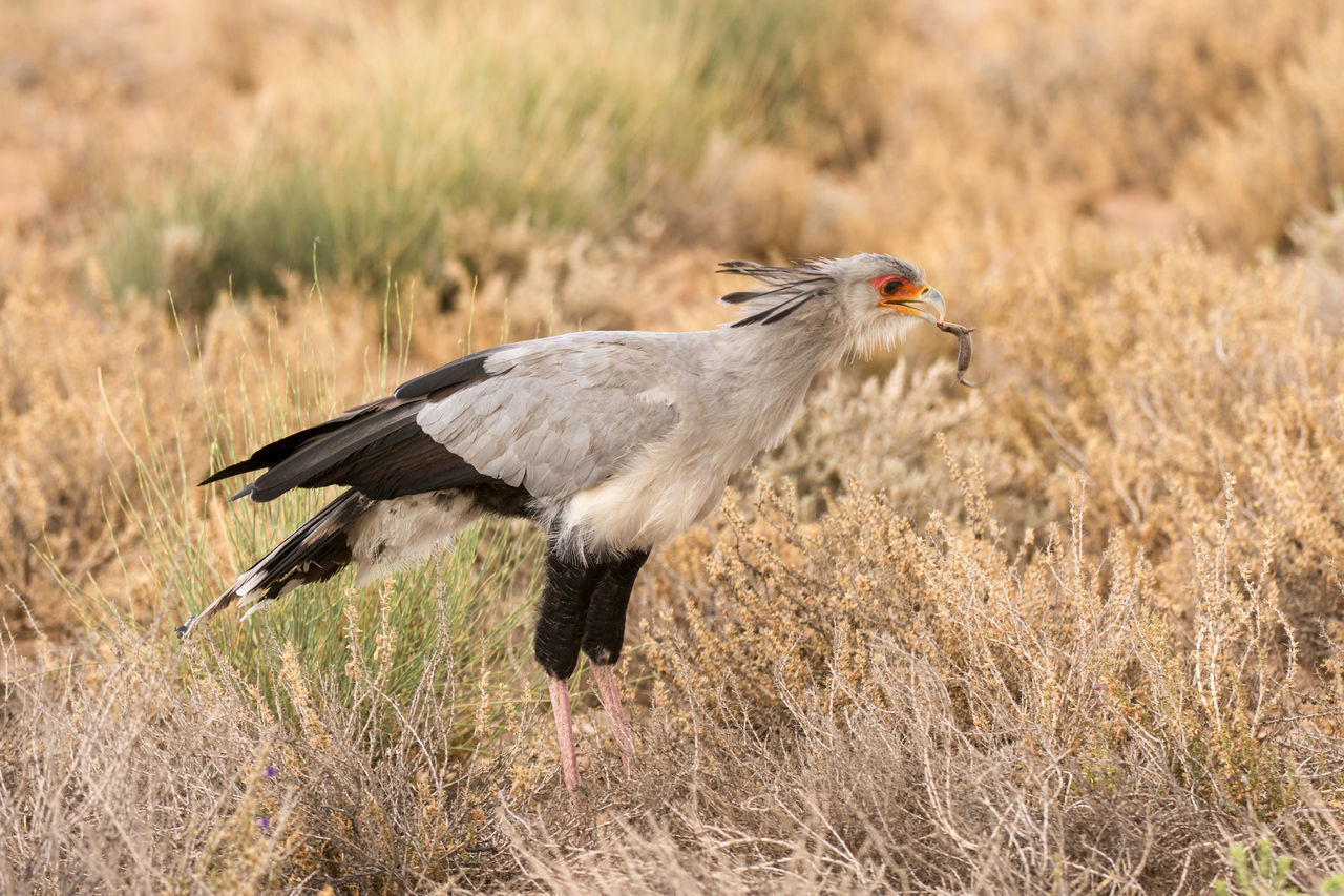 Animal Themes Animal Wildlife Animals In The Wild Bird Bird Of Prey Close-up Day Field Grass Nature No People No People, One Animal Outdoors Secretary Bird Secretary Bird Hunting Secretarybird Secretarybird Side View Wildlife Photography